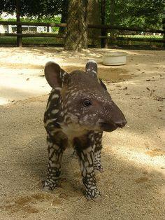 #tapir