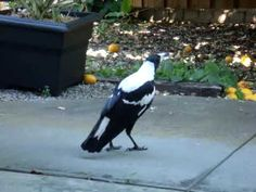 Magpie imitating different sounds.
