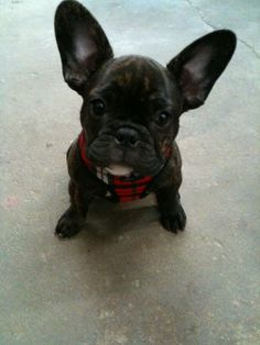 French Bulldog, Cappuccino 6 mts
