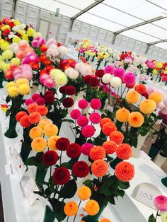 A glorious array of #Dahlias and #Chrysanthemums  The judges task must have been challenging as they were all so perfect.