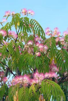 Albizia julibrissin (Perzische slaapboom, Zijdeboom) - in pot Exotic Plants, Exotic Flowers, Albizia Julibrissin, Silk Tree, Pink Garden, Yard Design, Botany, Beautiful Birds, Organic Gardening