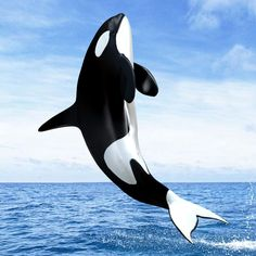 Killer whales are tragically chased worldwide for their meat and whale lard, whi. Killer whales are tragically chased worldwide for their meat and whale lard, which is utilized as an old type of fue Beautiful Sea Creatures, Animals Beautiful, Orcas, Whale Pictures, Baby Dolphins, Wale, Delphine, Ocean Creatures, Underwater World