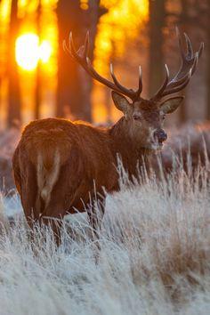 plasmatics-life:  Red Deer in Morning Sun ~ By K1