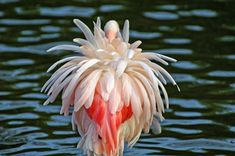 День фламинго. Великолепные фотографии розовых птиц - ПоЗиТиФфЧиК - сайт позитивного настроения!