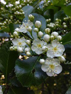 Fiche plante : Aubépine
