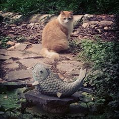 She really wants to catch one of those little frogs that live in the pond.  #GhostWomanStudios #Marmalade #cat #prettyprincessoftheprettyprincesspeople #koi #pond #frog #midday #latesummer #drizzle