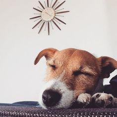 Adorable Sleeping Jack Russell Terrier Dog