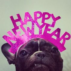 Bringing in 2015 with attitude.  #happynewyears #frenchbulldog #frenchie #frogdog #frenchbully #batdog #frenchy #bulldog #puppy #boulegdog #bully #bullybreed #igfrenchiepics #fab_frenchies...