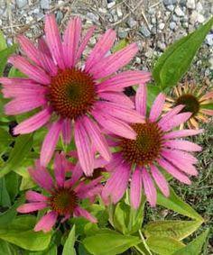 Echinacea Hybride 'Summer Cocktail' ® - Mehrfarbiger Sonnenhut