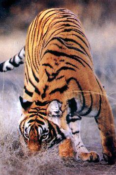 ☀running tiger