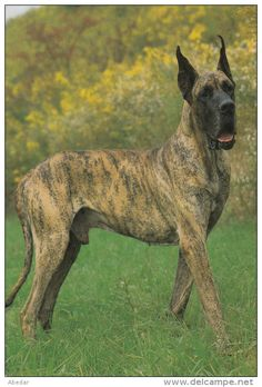 Great Dane Grand Danois Dogge Hunde Cane Old Dog Groh Postcard. cpa. - Delcampe.net