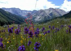 Google Image Result for http://www.ultimatetaxi.com/pictures_of/wildflowers_in_colorado.jpg