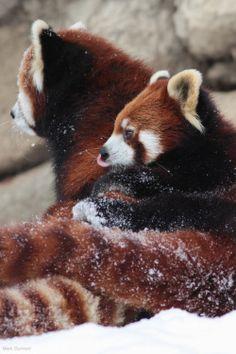 Red pandas resting