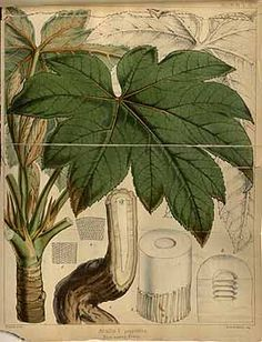 28579 Tetrapanax papyrifer (Hook.) K. Koch [as Aralia papyrifera Hook.] / Hooker's journal of botany and Kew Garden miscellany, vol. 4: t. 1 (1852) [W.H. Fitch]