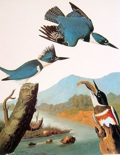 Audubon Bird Print - Belted Kingfisher - Large 1981 Vintage Audubon Bird Book Page