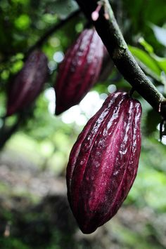 Only dentists will be happy about this news. It looks as though climate change is going to take a bite out of chocolate production, according to a new study by scientists at CIAT. Chocolate Tree, Hershey Chocolate, Exotic Fruit, Exotic Birds, Spicy Spice, Cacao Fruit, Fruit Flowers, Beautiful Fruits, Theobroma Cacao