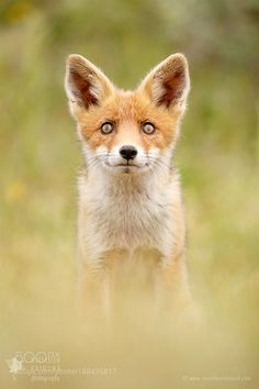 All Good Things Come From Above - Fox Kit looking by RoeselienRaimond #animals #animal #pet #pets #animales #animallovers #photooftheday #amazing #picoftheday