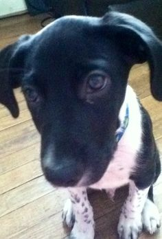 My Adorable Puppy Black Lab English Pointer Mix Puppies Cute Puppies Dogs And Puppies