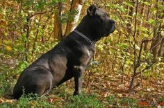 Fearless and smart Cane Corso