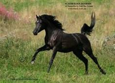 AL AZIM Arabians -> Nuri Ibn Salaam progeny