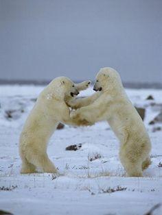 """Résultat de recherche d'images pour """"ours polaire comment samuse t-il"""""""