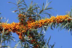 Připravte si vitaminovou bombu z oranžových bobulí. Vaše tělo vám poděkuje | Náš REGION Rhododendron, Plantar, Smoothie, Gardens, Green Leaves, Berries, Trees And Shrubs, Soil Type, Small Flowers