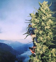 Mz Stoned (@mzstoned) | Twitter Weed Art, Stoner Girl, Spring Fever, Stay Tuned, Plants, Fun, Trees, Training, Twitter