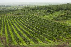 Charosa Vineyard, Nashik