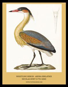 Whistling Heron - Illustration by Nicolas Huet