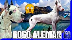 UN GRAN PERRO usado en la CREACIÓN del DOGO ARGENTINO ►【Dogo Alemán】🧬 The World, The Creation, Dogs