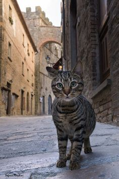 Curious cat by Stefano Moschini. Tabby cat on European Street. I Love Cats, Crazy Cats, Cool Cats, Beautiful Cats, Animals Beautiful, Cute Animals, Cute Kittens, Cats And Kittens, Foster Kittens