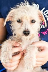 Three Good Fairies - Flora is an adoptable Chinese Crested Dog Dog in San Diego, CA. Flora, Fauna, and Merriweather are three lovely ladies who deserve the beautiful grace that their names suggest. At...