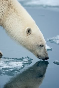 Polar bear with nose on water