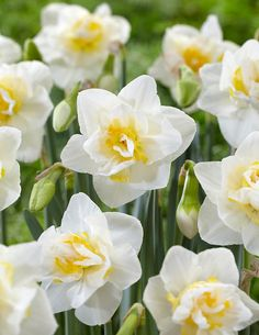 Narcissi double 'White Lion' Daffodil from ADR Bulbs Planting Daffodil Bulbs, Planting Bulbs, Daffodils, Tulips, Spring Plants, Spring Bulbs, Spring Blooms, Top Soil, Spring Sign