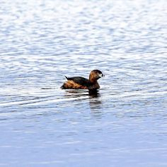 Pied Billed Grebe - Guelph Ontario Canada #art #photography #grebe #bird #birders #birding #nature #naturelovers #artforsale