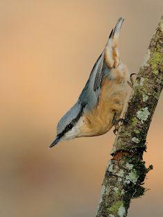Sitta europaea hispaniensis - Trepador Azul - Trepadeira-azul - Sittelle torchepot - Picchio muratore eurasiatico - Wood Nuthatch - Kleiber -