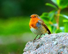 English Robin Fine Art Photography Wall Photo Print, European Robin Orange Bird Watching Green Grass Animal Wildlife Zoo by ArtistWithTheCamera on Etsy https://www.etsy.com/listing/210251373/english-robin-fine-art-photography-wall
