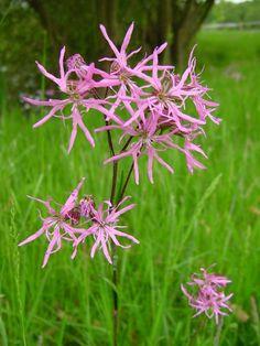 May Lychnis flos-cuculi - Ragged Robin. Wild Flowers Uk, British Wild Flowers, Wild Flower Meadow, Pink Perennials, Pink Garden, Woodland Garden, Flower Fairies, Types Of Flowers, Planting Flowers