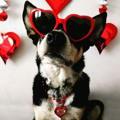 "35 Likes, 2 Comments - Paws N Claws Eyewear (@pawsnclawseyewear) on Instagram: ""Too cute not to share. Thanks for this great pic, Emma! (And Rigby!) ❤️ #valentinesday…"""