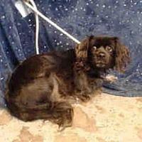 Urgent-- Baldwin Park, California - Cocker Spaniel. Meet COQUETA, a *Senior* female dog for adoption. https://www.adoptapet.com/pet/21296022-baldwin-park-california-cocker-spaniel