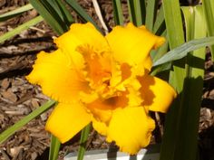 Photo of Daylily (Hemerocallis 'Condilla'). Contributed by Betja. Daylily Garden, Day Lilies, Bulbs, Orchids, Bloom, Gardens, Flowers, Plants, Beautiful
