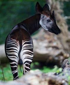 Amazingly Beautiful Okapi