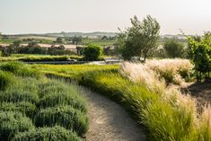 Third Nature Studio | Gravel path with ornamental grasses, Burbank Ranch Winery