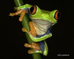 Eye-to-Eye With A Red-Eye Tree Frog by Rick Sammon