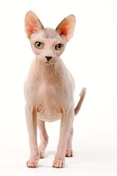 Découvrez toute l'histoire ce cette race de chat en suivant ce lien: http://www.wikichat.fr/sphynx-le-chat-et-chaton-de-race-sphynx