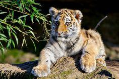 тигрёнок малыш by David Skichko on 500px