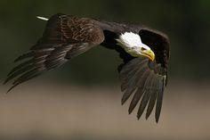 Bald Eagle by Jens-Wilhelm Janzen on Bald Eagles, Vulture, Kingfisher, Raptors, Falcons, Nature Animals, Hawks, Bird Feathers, Birds In Flight