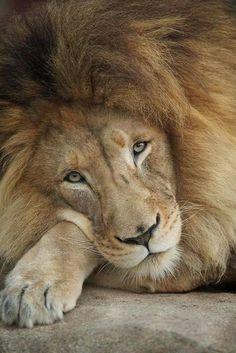 chats sauvages, le repos des grands, un lion trop pensif
