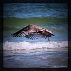 Seagull dancing over the waves #seagull #birdsofinstagram #birds #florida #staugustine #florida #staugustinebuzz by hawktotem