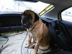 i pet taxi μεταφορά κατοικίδιων ζώων φθηνά με κανονικές τιμές ταξί Dogs, Animals, Animales, Animaux, Pet Dogs, Doggies, Animal, Animais